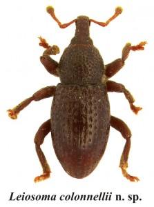 leiosoma-colonnellii-223x300