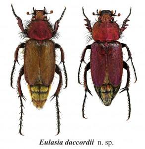 eulasia-daccordii_def-293x300
