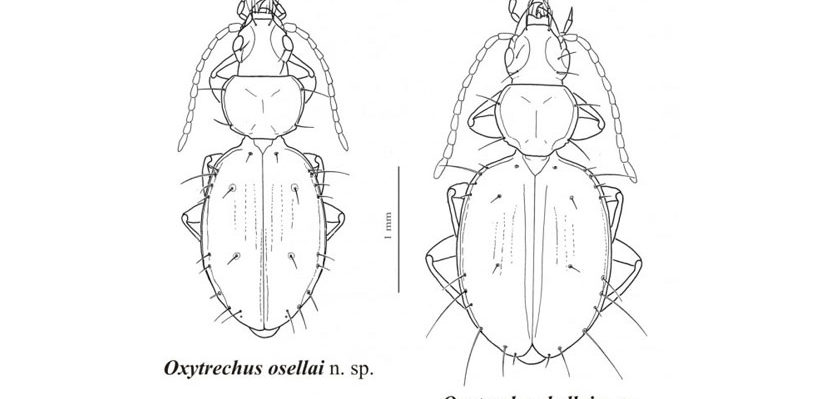 Two More New Species Of Carabidae From Ecuador