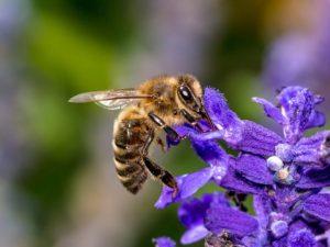 ape vista di lato che succhia il nettare da un fiore di colore blu