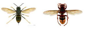 vespa velutina vs calabrone autoctono