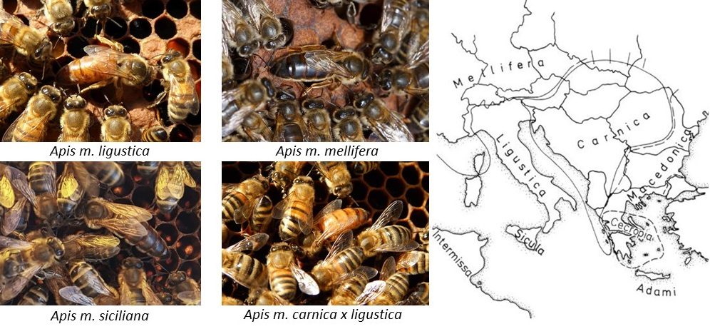 apis mellifera sottospecie carta di san michele beekeeping