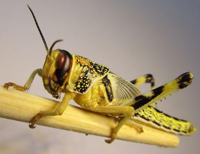 Schistocerca gregaria CC Wikimedia