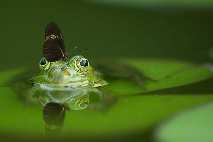 foto di rana con farfalla di Frank Winkler