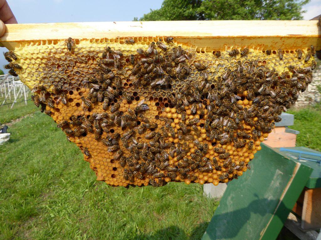 favo apicoltura